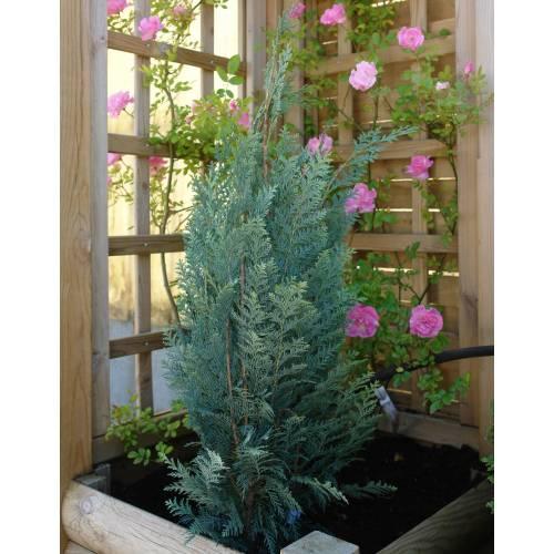 Cypress lawson 39 columnaris glauca 39 buy cypress lawson for Arbustos enanos para jardin