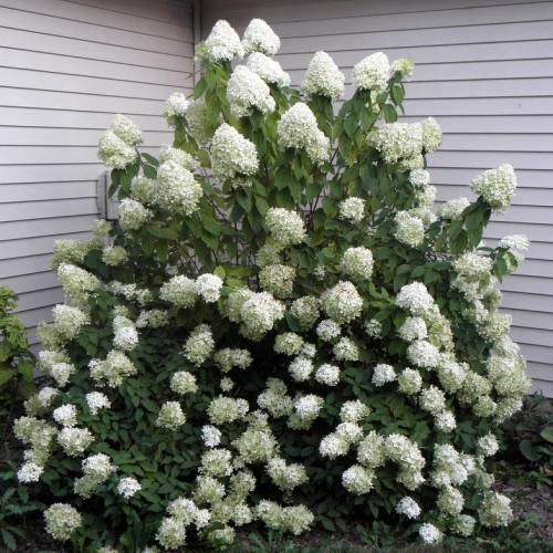 hydrangea panicle limelight buy hydrangea panicle. Black Bedroom Furniture Sets. Home Design Ideas