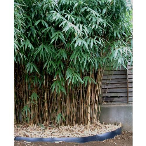 bamboo sasa japonica buy bamboo sasa japonica sasa. Black Bedroom Furniture Sets. Home Design Ideas