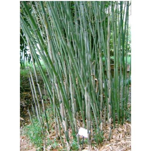 bamboo phyllostachys bissetii buy bamboo phyllostachys. Black Bedroom Furniture Sets. Home Design Ideas