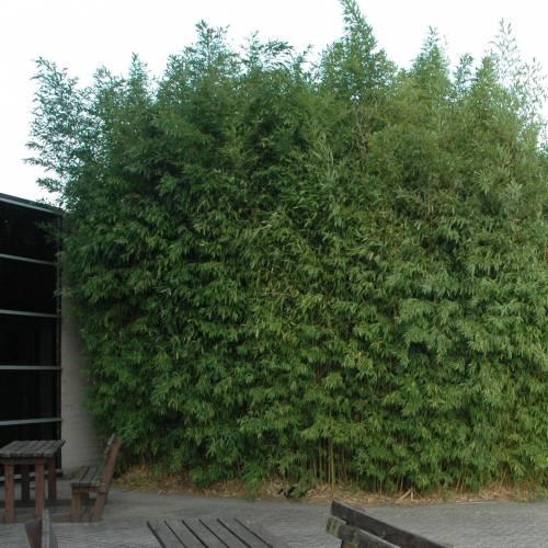Bamboo Phyllostachys aurea : buy Bamboo Phyllostachys aurea ...