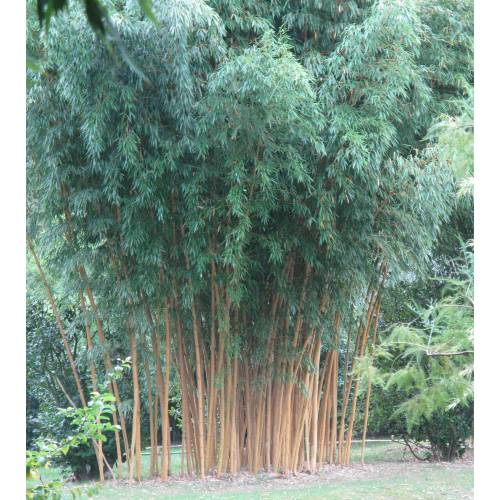 bamboo phyllostachys aurea h buy bamboo phyllostachys aurea h phyllostachys aurea holochrysa. Black Bedroom Furniture Sets. Home Design Ideas