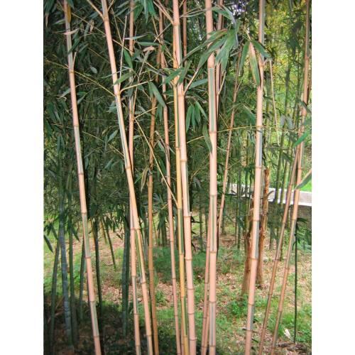 bamboo phyllostachys aurea koi buy bamboo phyllostachys. Black Bedroom Furniture Sets. Home Design Ideas