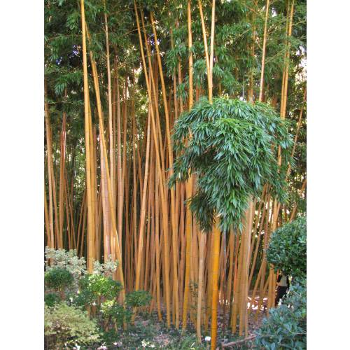 bamboo phyllostachys vivax aureo buy bamboo. Black Bedroom Furniture Sets. Home Design Ideas