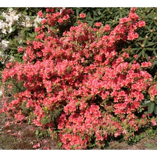 Azalea 39 bengal fire 39 buy azalea 39 bengal fire 39 azalea for Azalea japonica