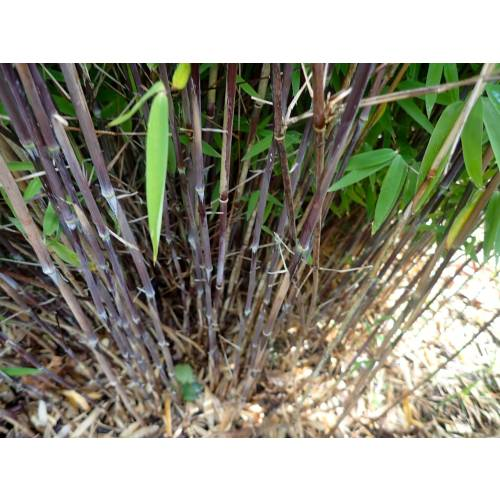 bamboo fargesia nitida 39 volcano 39 buy bamboo fargesia. Black Bedroom Furniture Sets. Home Design Ideas