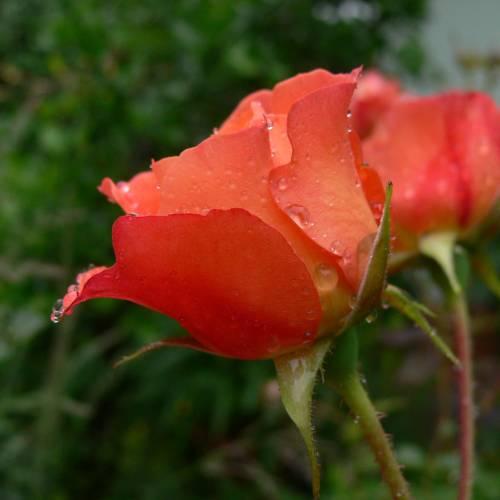 rose 39 westerland 39 buy rose 39 westerland 39 rosa westerland. Black Bedroom Furniture Sets. Home Design Ideas