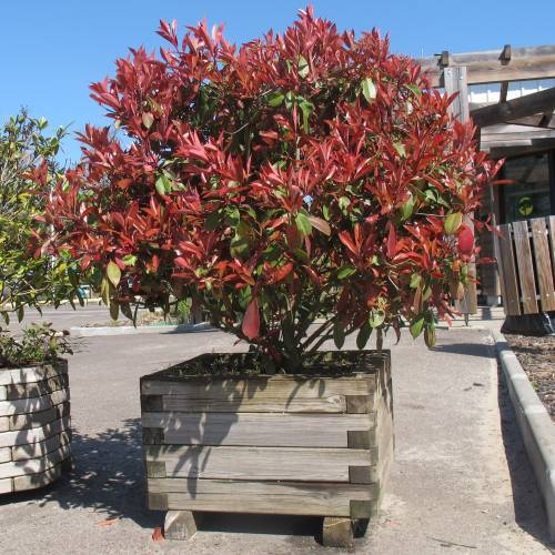photinia dwarf buy photinia dwarf photinia fraseri. Black Bedroom Furniture Sets. Home Design Ideas
