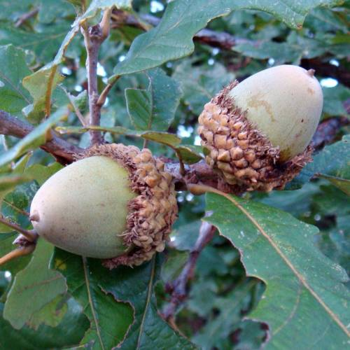 burr oak chat sites Bur oak (quercus macrocarpa) is one of the most majestic oak species native to north america large, low-maintenance and long-lived, the bur oak thrives in us department of agriculture.