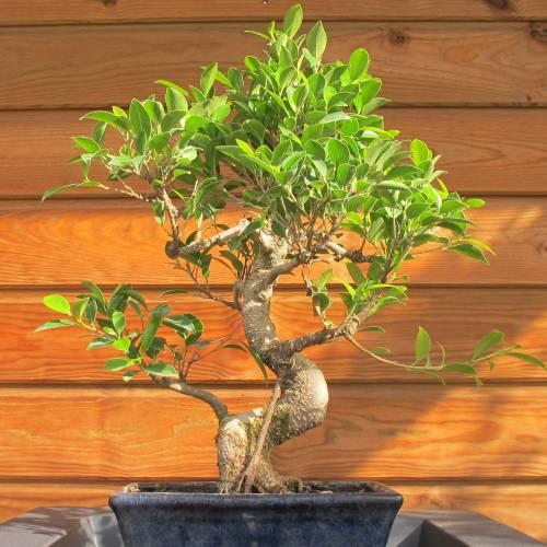 bonsai ficus retusa tiger bark ficus 8 years buy. Black Bedroom Furniture Sets. Home Design Ideas