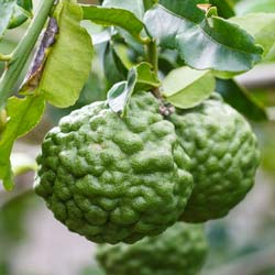 Buy Exotic Fruit Trees and Citrus Trees Online