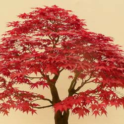 Maple, Japanese 'Deshojo'