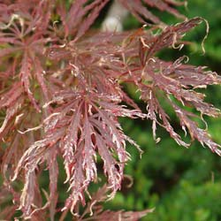 Maple, Japanese 'Dissectum garnet'
