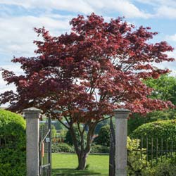 Maple, Japanese 'Atropurpureum'