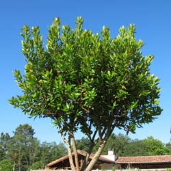 Strawberry tree Specimen