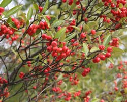 Chokeberry, red 'Brilliant'