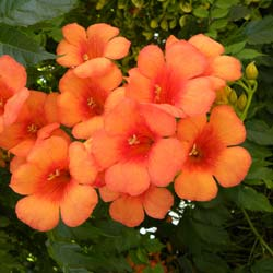 Trumpet Vine Indian Summer
