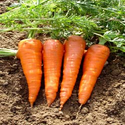 Carrot seeds - Red Cored Chantenay Carrot