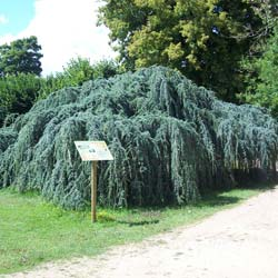 Cedar, Weeping Blue Atlas