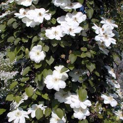 Clematis 'Mme Lecoultre'