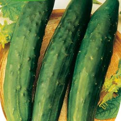 Cucumber seeds - 'Long Maraicher' Cucumber