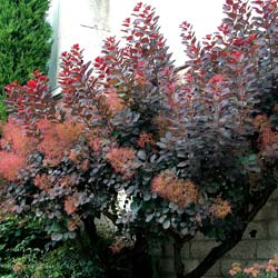 Smoke bush, purple