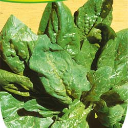 Spinach seeds - Giant Winter Spinach