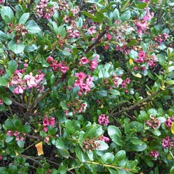 Escallonia macrantha, red