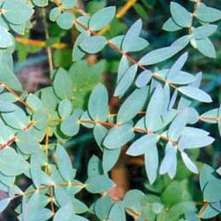 Eucalyptus Tree, Small-Leaved Gum