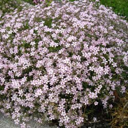 Gypsophila, Pink Creeping