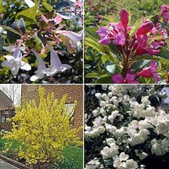 Hedge, flowering 'Julie'