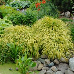 Grass, Japanese 'All gold'