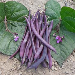 Beans seeds - Purple Podded French Climbing Beans