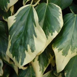 Ivy, variegated Persian
