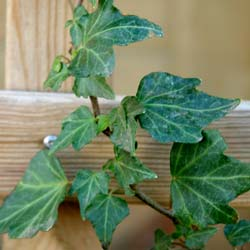 Hedera helix Green ripple