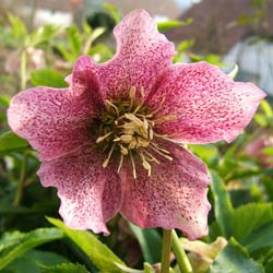 Lenten Rose 'Red Hybrids'