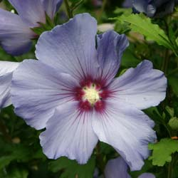 Hibiscus, blue bird