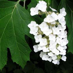 Hydrangea, oak leaved