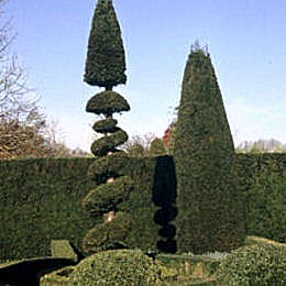 Yew, common