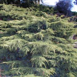 Juniper, Chinese hybrid 'Old Gold'