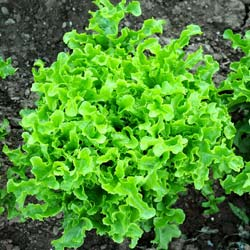 Lettuce seeds - Blonde Oak leaf Lettuce