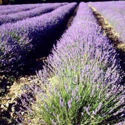 Lavender, common