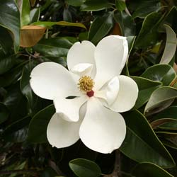 Magnolia, Southern