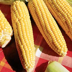 Sweet Corn seeds - 'Golden Bantam' Sweet Corn