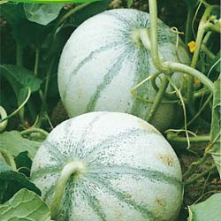 Melon seeds - Charentais Melon