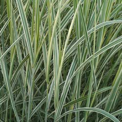 Silver Grass, Variegated Chinese