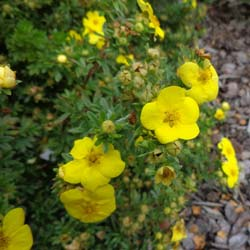 Potentilla, Yellow