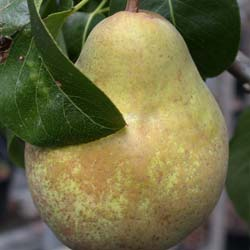 Pear tree 'Beurré hardy'