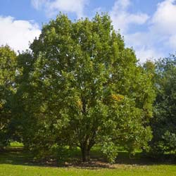 whiteoak latin singles English oak is monoecious, having catkins in mid-spring that fertilize female flowers on the same or nearby trees, producing long acorns that only take a single season to mature, like other members of the white oak group.
