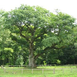 Oak, sessile